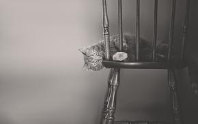Картинка кошка, кот, чёрно-белая, стул, монохром