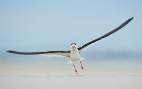 Картинка beach, bird, landing, wildlife, black skimmer