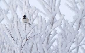 Картинка снег, природа, дерево, птица, Синица