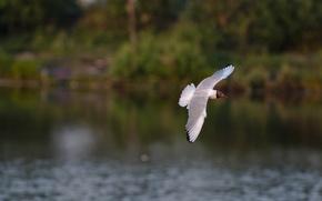 Картинка вода, полет, птица, крылья, вечер