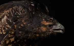 Картинка орел, хищник, перья, клюв