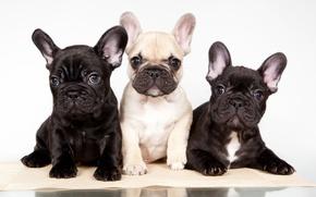 Картинка щенки, трио, французский бульдог