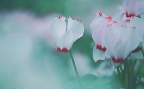 Картинка макро, цветы, зеленый, нежно, размыто, цикламены, цикламен, обои от lolita777, белый с красным