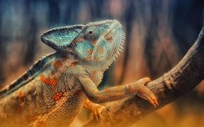 Картинка хамелеон, ветка, ящерица, окрас, рептилия, reptile, Chameleon