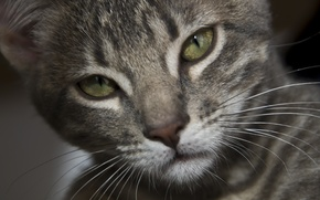 Обои eyes, gray, fur, feline
