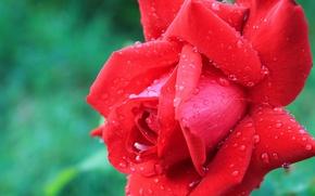 Картинка цветок, красный, Роза, капли дождя