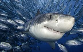 Обои море, рыбы, белая акула