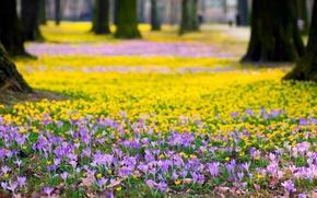 Картинка деревья, цветы, природа, парк, весна, желтые, крокусы, сиреневые