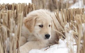 Картинка собака, взгляд, щенок, друг