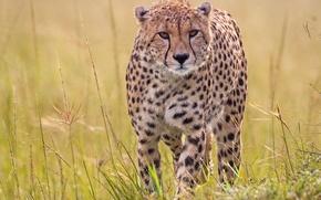 Картинка трава, хищник, гепард, дикая кошка