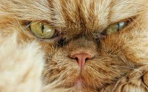 Картинка кот, взгляд, мордочка, сердитый, Персидская кошка