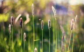 Картинка трава, насекомые, колоски, боке