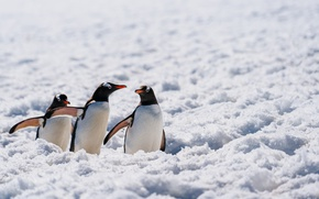 Обои penguins, wildlife, Antarctica