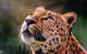 Картинка глаза, вверх, леопард, смотрит