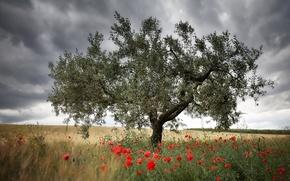 Картинка поле, дерево, маки