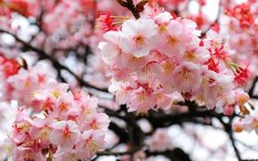 Картинка ветки, Сакура, размытость, цветение