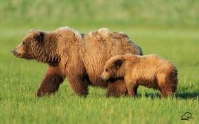 Картинка трава, медведи, мишки, медведица