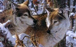 Картинка снег, арт, волки, Jay Kemp