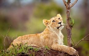 Обои лев, маленький, смотрит