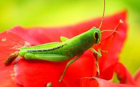 Картинка green, red, exoskeleton, flower, nature, eyes, wings, animal, leaf, wildlife, insect, paws, hana, grasshopper, Konoha, …