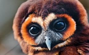 Картинка глаза, сова, большие, смотрят, совёнок