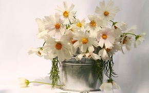 Картинка silver, white, flower, nature, flowers, cosmos, beauty, amazing, gift, vase, bouquet, delicate, cosmea