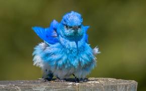 Картинка птица, Голубая сиалия, взъерошенная