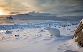 Обои заяц, снег, Арктика, зима, Арктический беляк, Канада