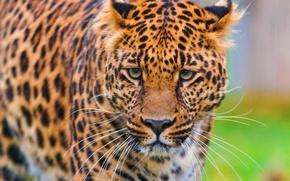 Обои леопард, пятнистый, морда, смотрит, обои, стоит, красивый, leopard, panthera pardus