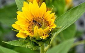 Картинка поле, цветок, оса, подсолнух, лепестки, насекомое
