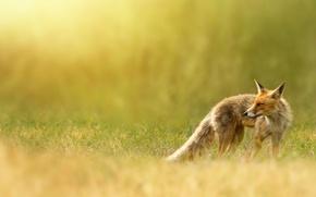 Обои природа, Лиса, рыжая, травка, лисица