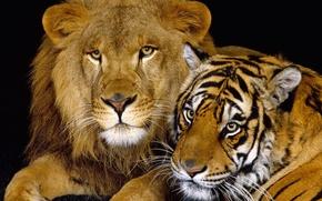 Обои тигр, лев, кошки