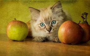 Картинка кошка, ретро, котенок, стол, фон, яблоки, обработка, пушистый, мордашка, голубоглазый, рэгдолл