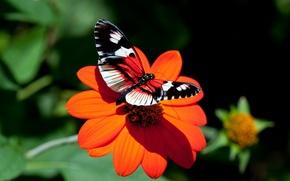Обои цветок, астра, бабочка