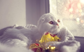 Картинка зима, котенок, шарф, окно, Новый год, боке, хайленд фолд, Айс