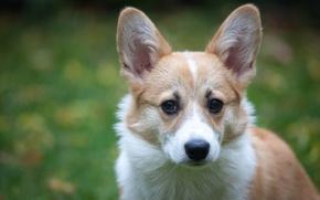Картинка Вельш-корги, морда, уши, фон, взгляд, собака