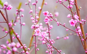 Обои персик, Япония, ветки, весна, сад