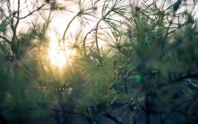 Картинка зелень, лес, природа, Солнце, утро, хвоя, сосна