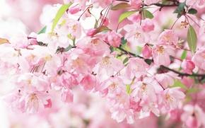 Картинка ветви, весна, лепестки, сакура, розовые, цветение