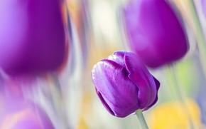 Обои цветы, тюльпаны, природа