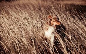 Обои собака, поле, друг