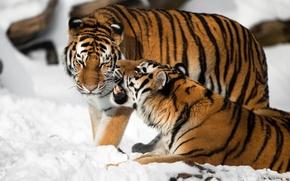 Картинка кошка, снег, тигр, пара, клыки, амурский