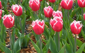 Картинка тюльпаны, много, мохнатые, Махровые бахромчатые тюльпаны, колючие