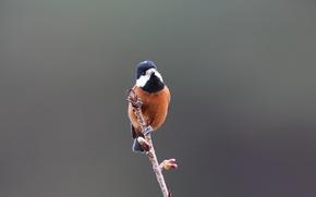 Картинка Blue, Black, White, Bird, Brown, Beak, Eye, Branch, Sittiparus