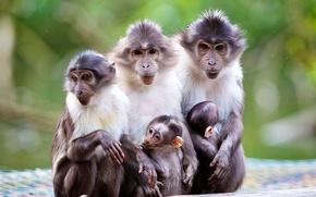 Картинка природа, макаки, малыш, обезьяны, мама