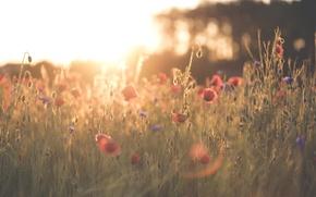 Обои маки, трава, лепестки, цветы, красные