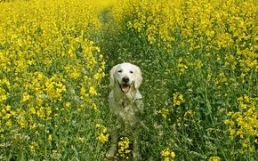 Картинка поле, лето, собака, рапс