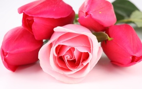 Картинка цветы, роза, весна, тюльпаны