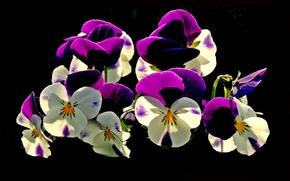 Обои цветы, анютины глазки, черный фон