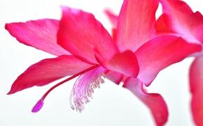 Обои цветок, лепестки, экзотика